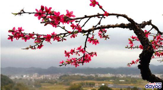 靓爆镜:桃花朵朵开