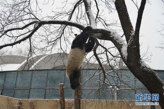 #(社会)(1)大熊猫雪中爬树