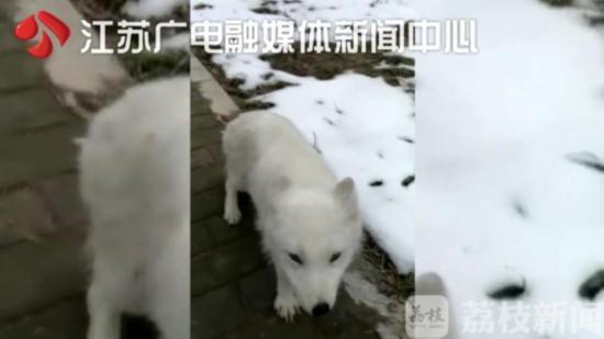 渡劫飞仙?扬州大学校园现北极白狐