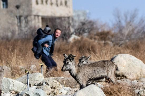 春风送暖,快来岩画和岩羊约会吧