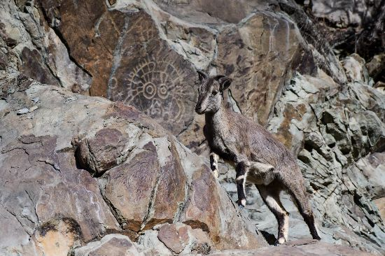 岩羊与贺兰山太阳神岩画千年偶遇