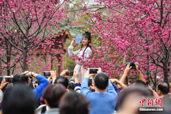 广州华南农业大学樱花怒放吸引游人