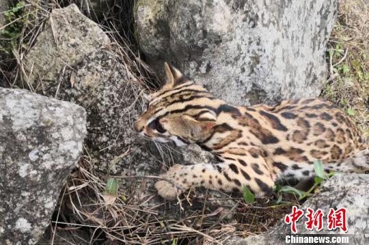 """云南西双版纳一男子直播""""火烧豹猫""""被网友举报"""