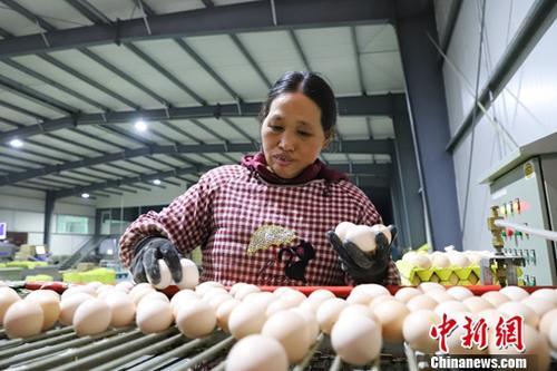 """台湾现鸡蛋荒每日""""南蛋北送""""40万颗供应需求"""