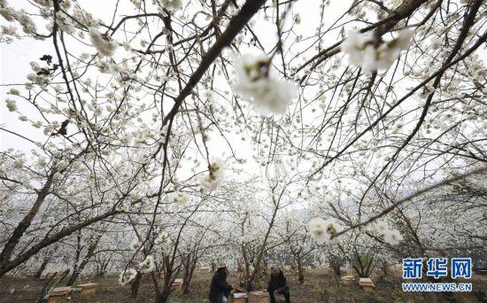 #(经济)(1)贵州赫章:樱桃花开养蜂忙