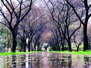 """南京玄武湖浪漫""""梅花隧道""""仿佛世外桃源一般"""