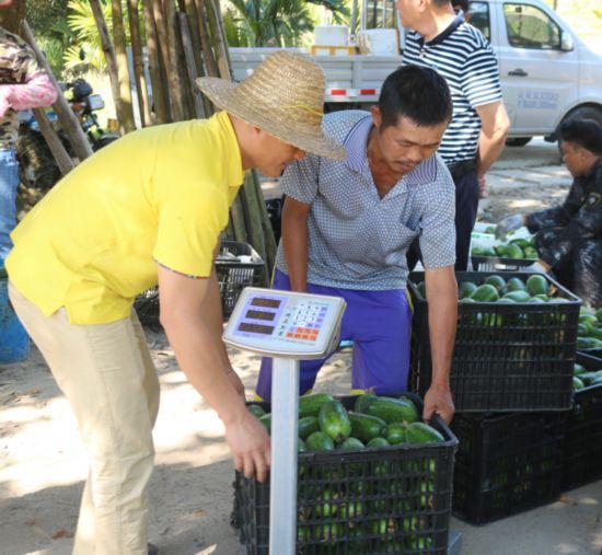 琼中什运乡550亩瓜菜产业助力脱贫攻坚