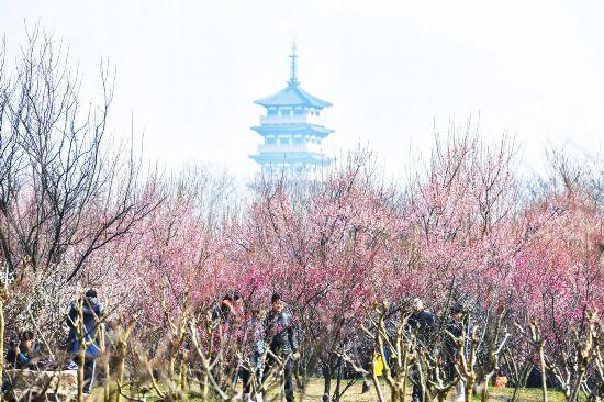 扬州20多种春梅竞相绽放 天气放晴市民出行兴致高