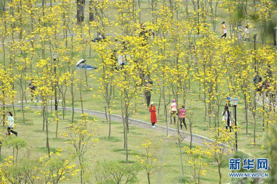 黄花风铃木迎春绽放