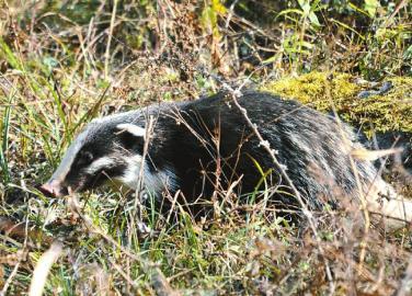 被列入《世界自然保护联盟》濒危物种红色名录的猪獾.