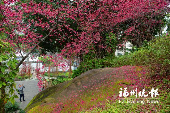 福州乌山进入最美赏花季 桃花盛开樱花怒放