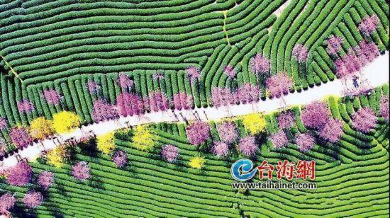 这条马拉松赛道美炸了 漳平(永福)樱花国际马拉松赛3月3日开跑
