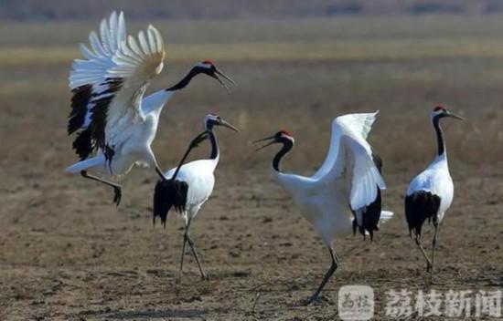 连云港赣榆湿地现61只国家一级保护动物丹顶鹤
