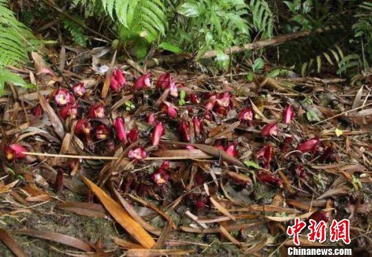 广东韶关丹霞山假野菰被确认为新种