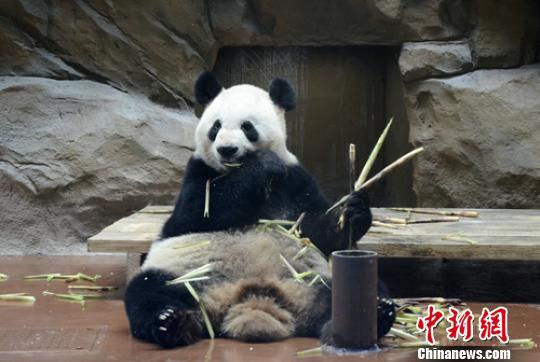 """成都动物园:大熊猫""""娅娅""""将告别游客不再对外展出"""