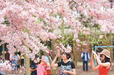 台湾樱花盛放琼岛
