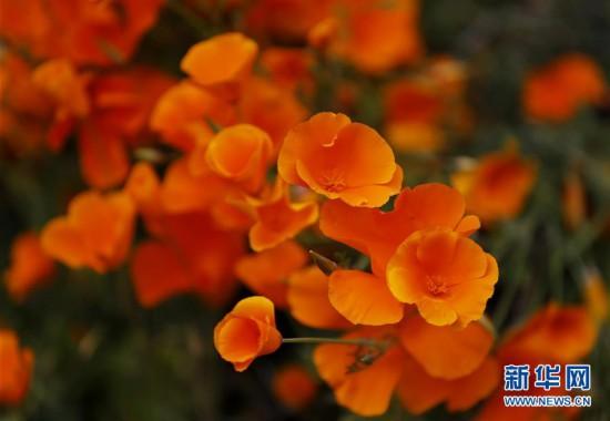 (国际)(3)春到加州 山花盛放