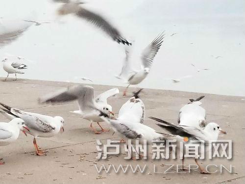 红嘴鸥在东门口觅食