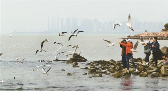 深圳湾畔候鸟留恋