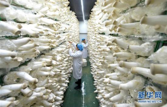 (社会)(1)食用菌产业助力精准扶贫