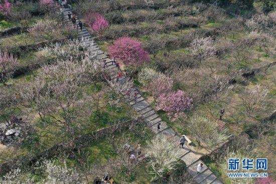 (社会)(3)江苏苏州:香雪海里赏花寻春