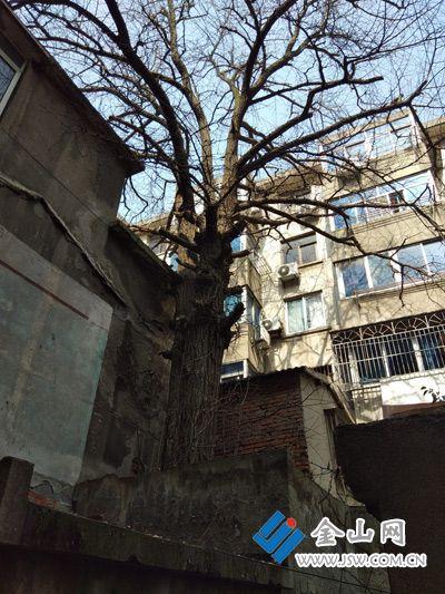 """镇江部分古树缺少""""护身符"""" 市民建议加强管理"""