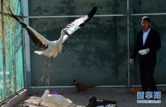 #(社会)(1)河北沧州:救助迁徙候鸟
