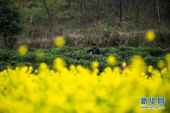 (经济)(3)贵州春茶陆续开采