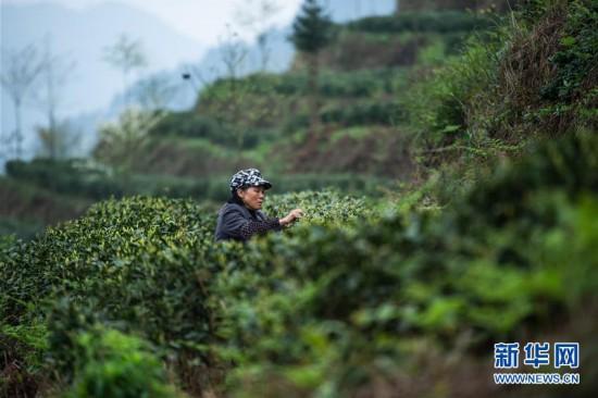 (经济)(1)贵州春茶陆续开采