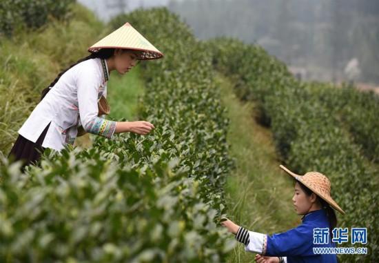 (经济)(2)贵州春茶陆续开采