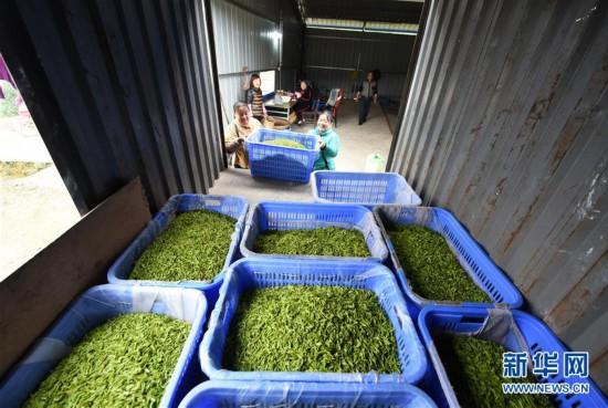 (经济)(6)贵州春茶陆续开采
