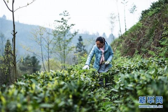 (经济)(5)贵州春茶陆续开采