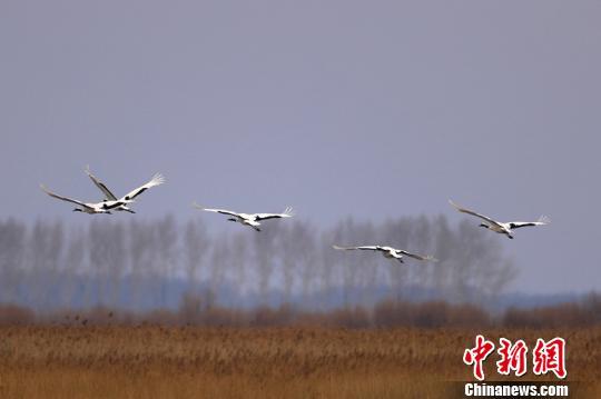 """中国""""最北""""湿地提前10余天迎来今年首批候鸟"""
