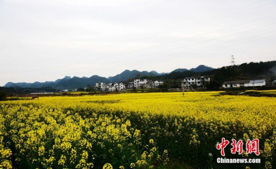 安徽黄山数万亩油菜花开金灿灿