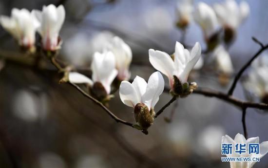 #(环境)(4)玉兰花开俏争春