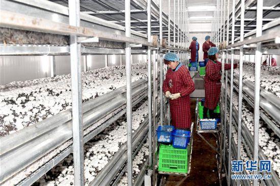 (经济)(4)陕西勉县:促进菌菇产业向工厂化转型