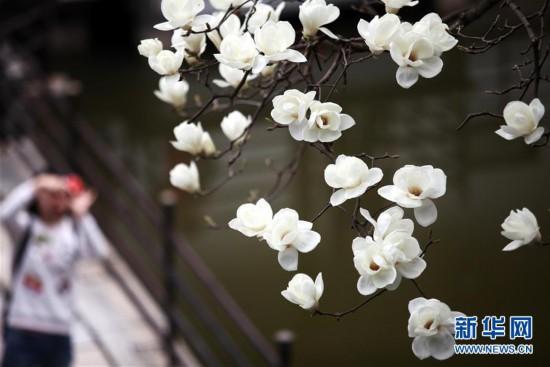 #(环境)(2)玉兰花开俏争春