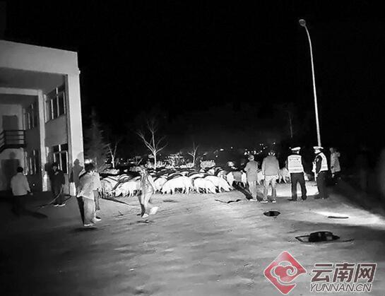 云南会泽:上百头猪夜跑高速路民