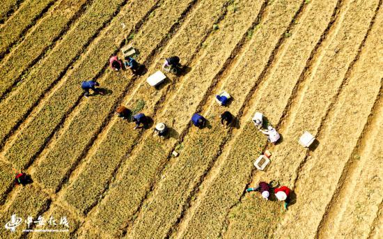 安徽庐江 :千亩菊花播种忙 扶贫路上带临乡【组图】
