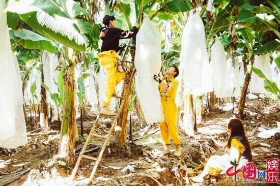 哈哈农夫收千斤香蕉 贾乃亮与王源、杨超越分一组