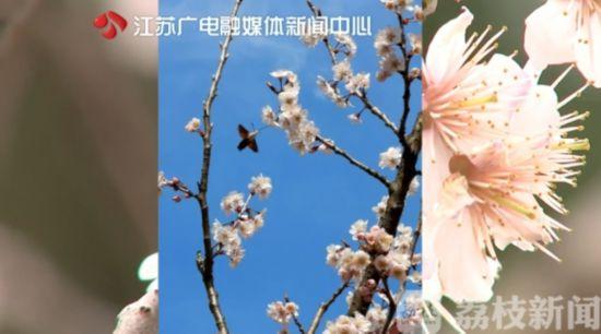 """春暖花开 罕见""""蜂鸟鹰蛾""""现身苏州常熟"""