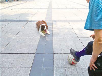 守门员来虎:一只会踢足球的狗两年多踢坏8个球