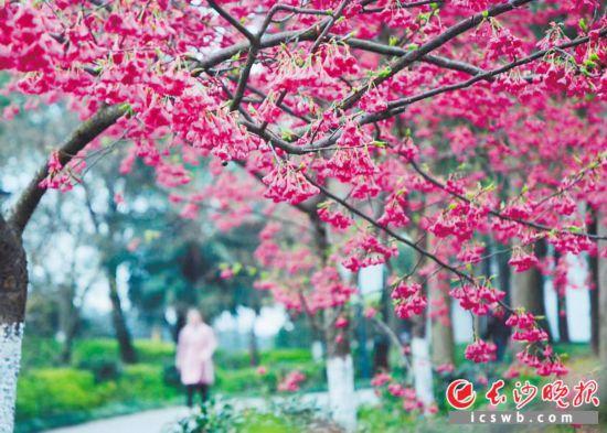 长沙近日天气晴好,春意盎然,湖南省森林植物园内鲜花绽放,美不胜收。  长沙晚报全媒体记者 周柏平 通讯员 彭炜 摄影报道