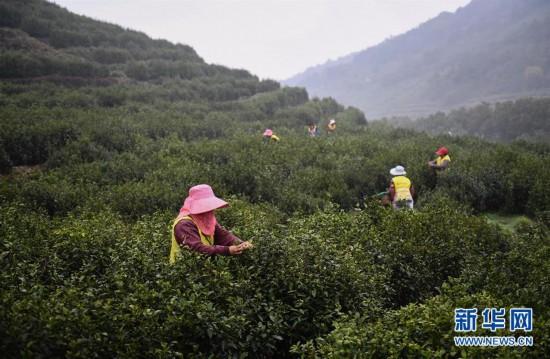 江蘇洞庭山:碧螺春茶迎來採摘期