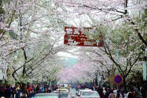 赶在春分时节南京鸡鸣寺路樱花盛放