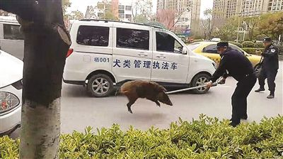 """野猪下山乱窜卡栅栏被南京民警""""扭送""""动物园"""