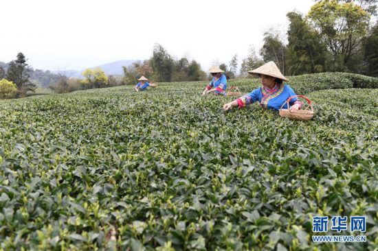 (社会)(1)福鼎茶乡迎来白茶开茶季
