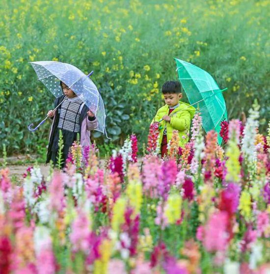 泉州丰海路超万平方米金鱼草开花了 缤纷你的春天