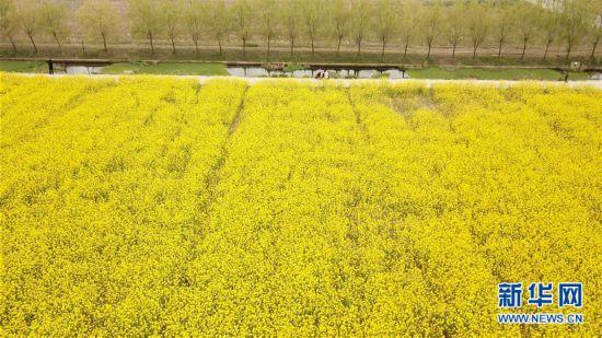 (春季美丽生态)(3)油菜花开迎客来