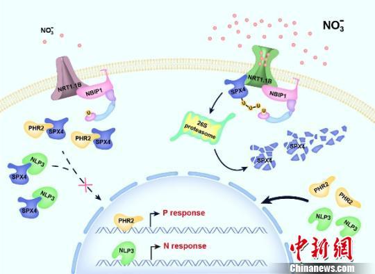 中国科学家研究揭示出植物硝酸盐信号传导通路